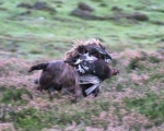 Ruby returning with a live grouse